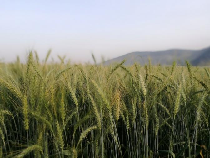 שדה חיטה בעמק יזרעאל