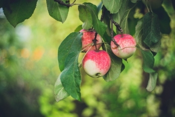 Apples Photo by Marina Khrapova on Unsplash